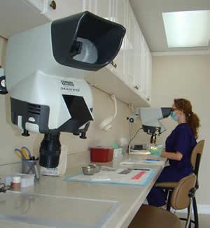 seperating multiple follicular unit grafts under magnficiation